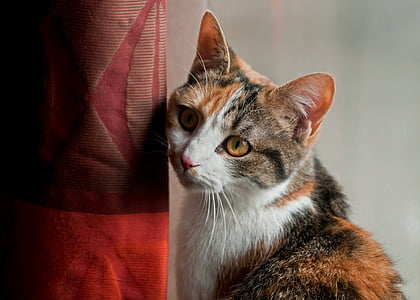 cat, look, drapes, domestic animal, domestic Cat, pets, animal