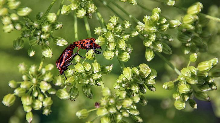 escarabat, vermell, negre, natura, insecte, rastreig, Maridatge