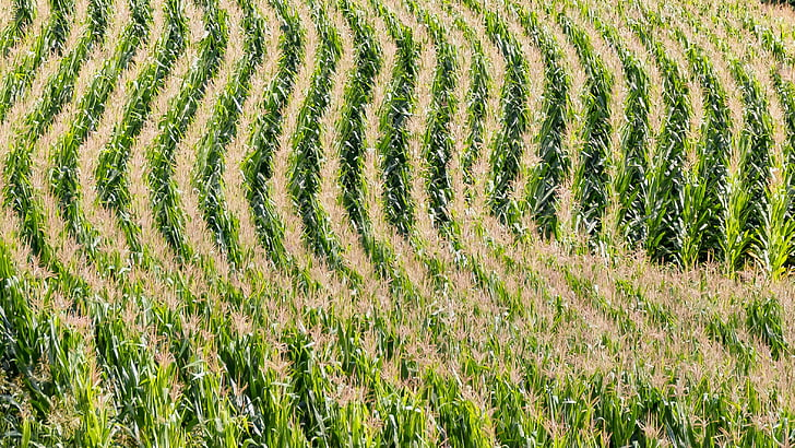 field, agriculture, corn, cornfield, lines, arches, form
