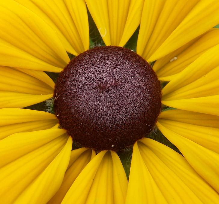 Coneflower, Hoa, hạt giống, thực vật, mùa hè, vĩ mô, thực vật