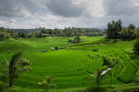 rice terraces, paddy, paddies, agriculture, asia, rice fields, plantation