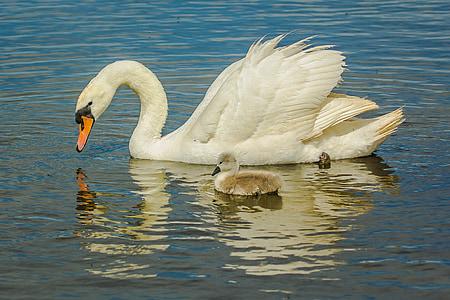 swans, water, birds, chick, nature, wild nature, bird