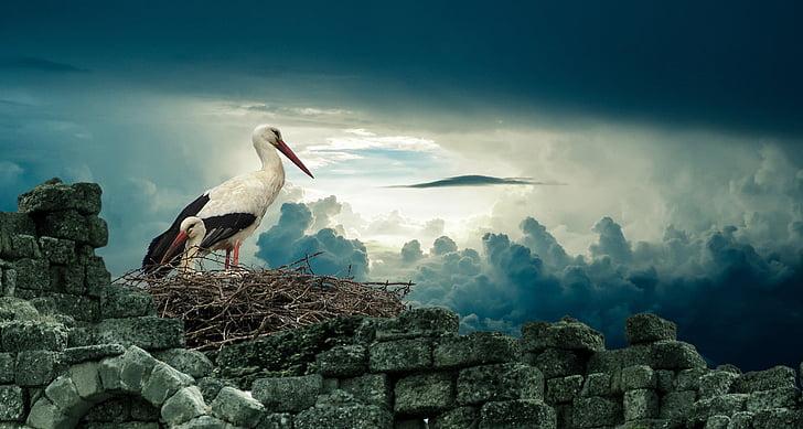 Cigonya, niu, ocell, natura, vida silvestre, animal, bec