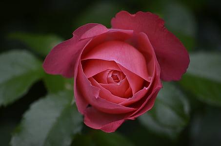 Rosa, brot, l'estiu, Rosa, rosa Rosa, flors, roses de jardí