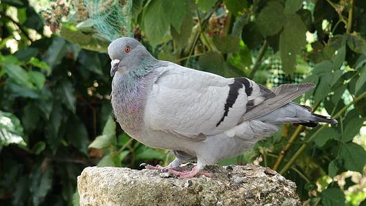 holub, vták, stojace, sivá, perie, zameraním, Príroda