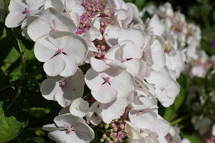 flor, blanc, planta, natura, primavera, flor, flor