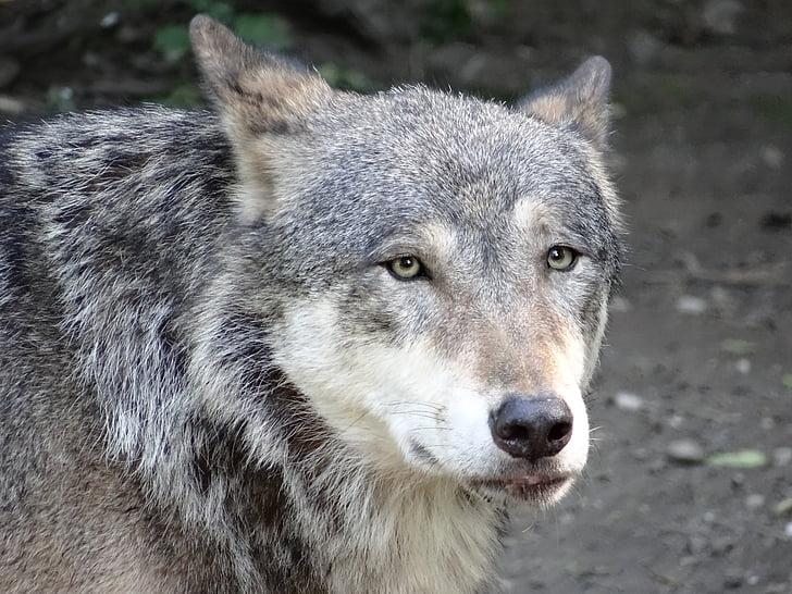 llop, natura, animal, caçador, peluts, Predator, Llop gris