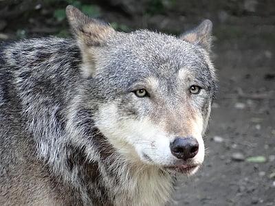 wolf, nature, animal, hunter, furry, predator, gray Wolf
