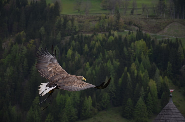 Adler, putns, plēsīgo putnu, Raptor, dzīvnieku, DOM, muša