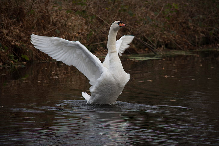 swan, water, autumn, nature, bird, swans, waterfowl