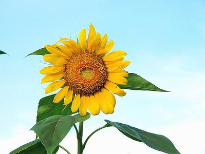Slunečnice, obloha, léto, květ, žlutá, Příroda, závod