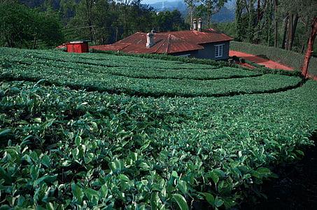 čajové lístky, čajová záhrada, Južná india, porasty, poľnohospodárstvo, Vonkajší, organické