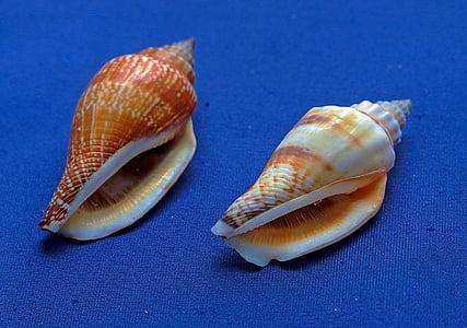 Marina conches, snäckor, molluscum, marina djur, snäckor, snäckskal, conch