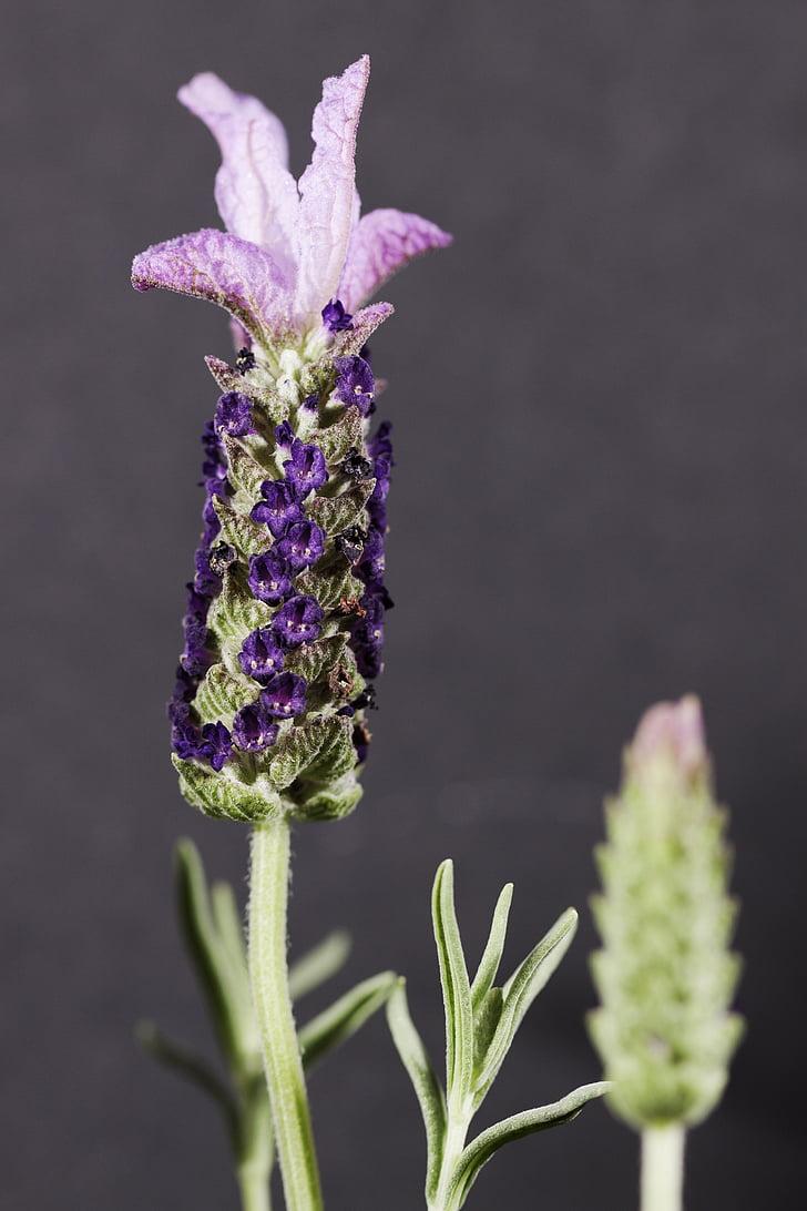 Lavendar, kvet, fialová, Aromaterapia, makro