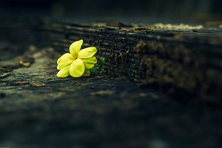 žlté kvety, Kvetinová, Príroda, prírodné, Petal, kvet, krehkosť