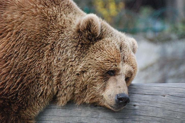 karu, ülejäänud, Zoo, Pruunkaru, looma, Wildlife, imetaja