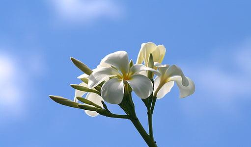 Plumeria, blomster, natur, hvit, gul, petal, himmelen