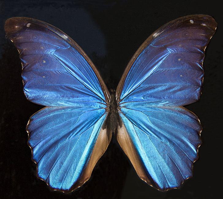 fjäril, exotiska, Sydamerika, Amazon, skimrande, skala, Wing skalor