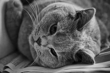 cat, british shorthair, thoroughbred, adidas, british, british shorthair cat, look