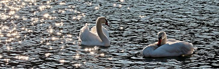 лебед, лебеди, вода птица, вода, бяло, гордост, води