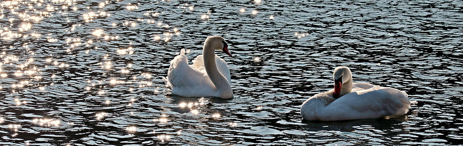 swan, swans, water bird, water, white, pride, waters