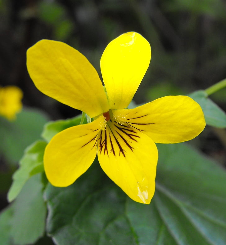 ècdisi viola, flor, groc, violeta de corrent, violeta pioner, flor, flor