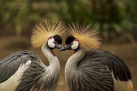 สีเทามกุฎเครน, นก, รถเครน, สัตว์, โลกของสัตว์, ผ้าโพกศีรษะ, นก