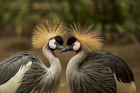 Grua coronada gris, ocell, Grua, animal, món animal, pentinat, ocells