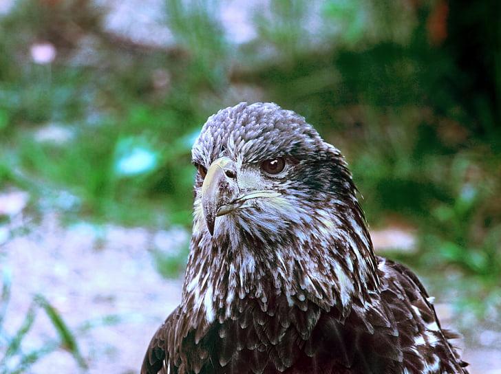 плешив орел, орел, птица, раптор, незрели, младите, клюн