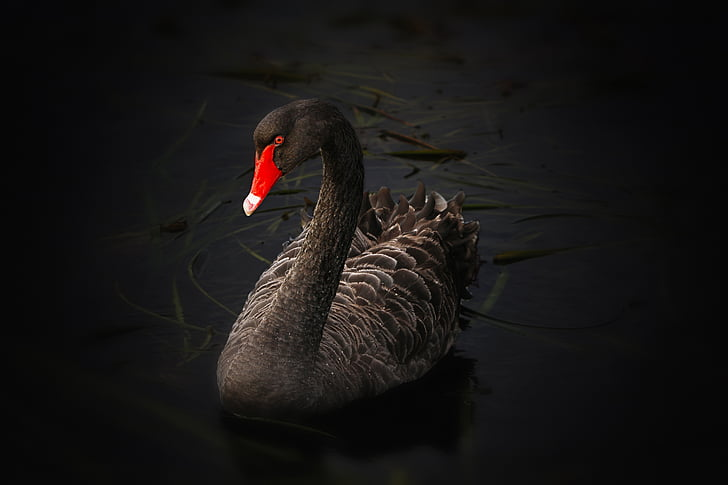 Thiên Nga đen, Hồ pupuke, Cygnus atratus, Úc black swan, Lake, bơi lội, nước