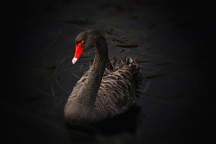 black swan, lake pupuke, cygnus atratus, australian black swan, lake, swimming, water