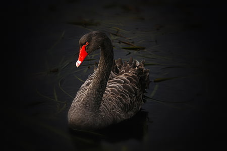 black swan, lake pupuke, cygnus atratus, australian black swan, lake, swimming, water
