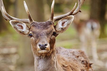 Wild, Hirsch, Wildpark poing, Natur, Jung-Hirsch, Red deer, Geweih-Träger