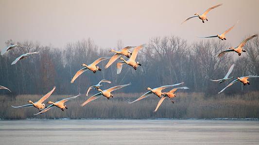 paisatge, boira, ocells, cignes, vol, volar, l'hivern