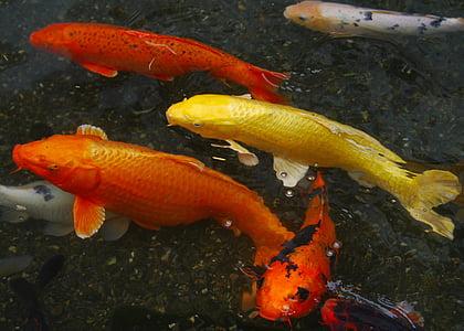 peixos d'aquari, carpa de color, Koi, peix, cria, vermell, vermelló