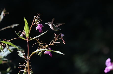 black, humming, bird, flying, near, pink, flowers