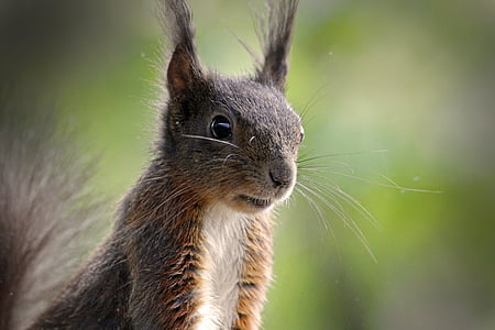 esquirol, animal, pelatge, natura, valent, nager, peluts