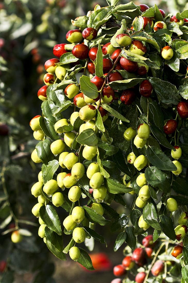 jujube, mad, grøn datoer, dato træ, frugt, sundhed