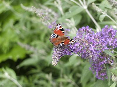 vlinder, Lila, Peacock, Blossom, Bloom, natuur, mooie