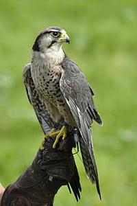 bird, falk, gyr falcon, animals, hawk - Bird, bird of Prey, animal