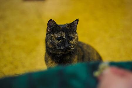 cat, snout, bobtail, animal, cat's eye, cat eyes, cat person