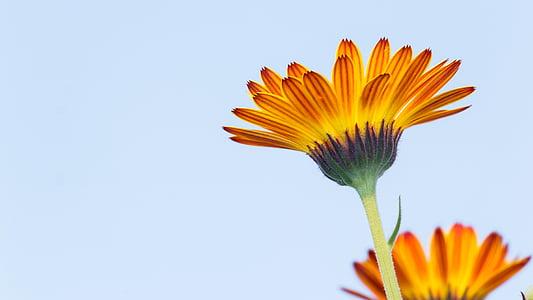 Calendula, morgenfrue blomst, blomster, blomst, skrøbelighed, PETAL, Blomsterkurv