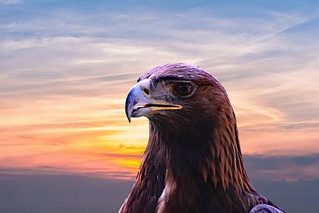 Maakotka, Eagle, lintu, Luonto, Wildlife, eläinten, Predator