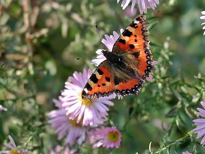 Lisa, Motyl, owad, Natura, zwierząt, kwiat, Bloom