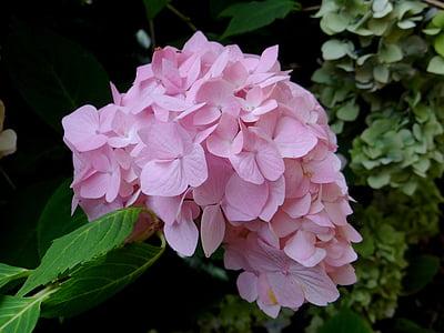 Hortènsia, flor, Rosa, flor, botànic, natura, planta