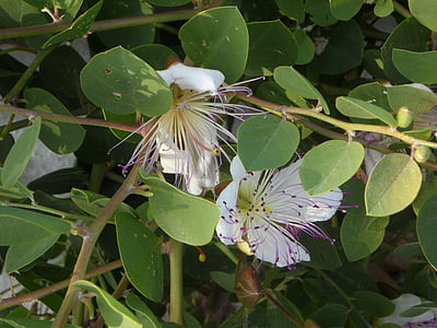 capture plant, capture, bush, blossom, bloom, kapernbluete, mediterranean