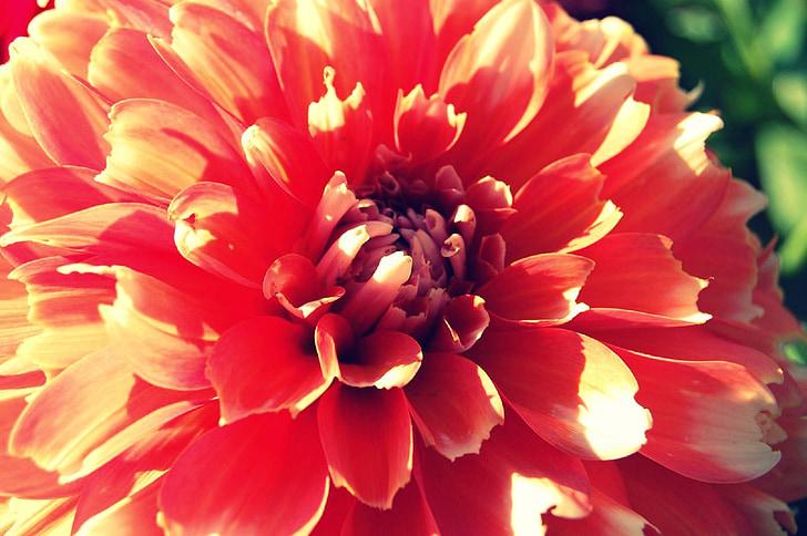 dālija, rozā, Persiks, vasaras, daba, zieds, ziedlapas