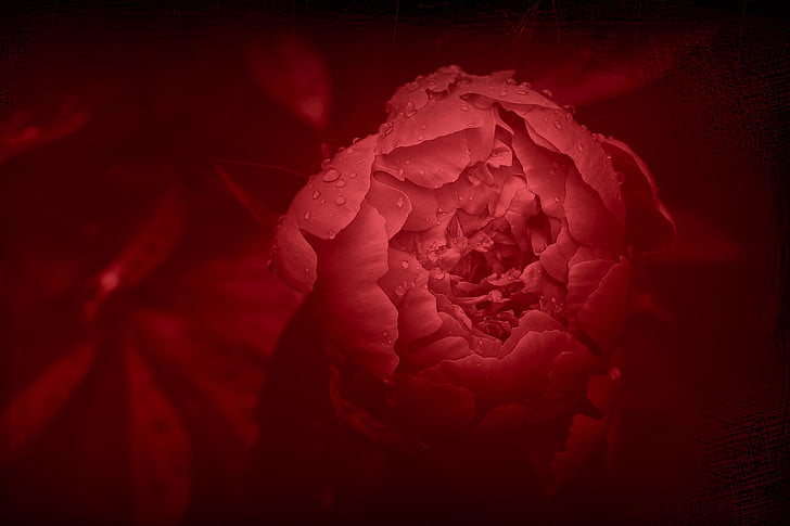peony, flower, red flower, petals, flowering, garden, red