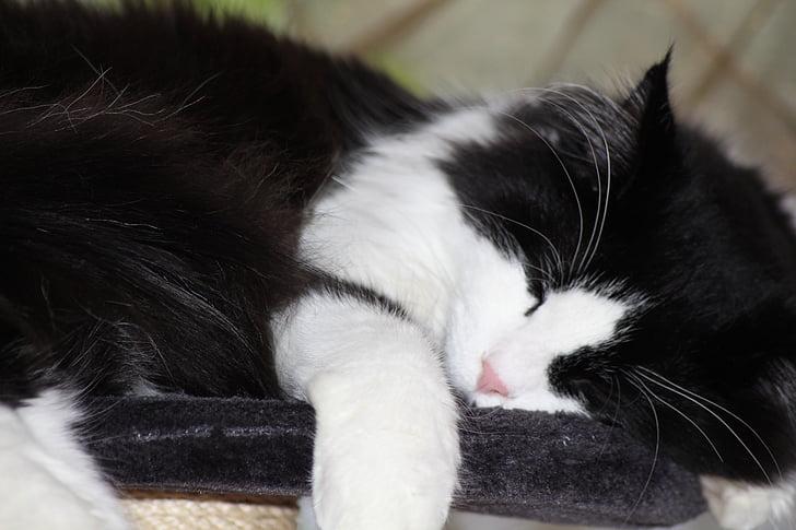 relaxen, zwart-wit, slaap, langharig kat, Maine coon