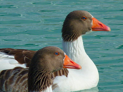 гъска, гъски, животни, вода, плуване, птица, животните